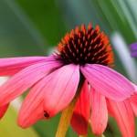 cone-flower-196699_640