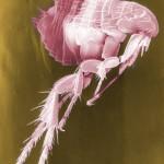 flea-63043_640