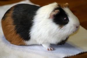 guinea-pig-237034_640