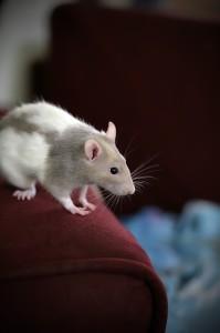 rat-170943_640
