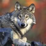 wolf-62898_640
